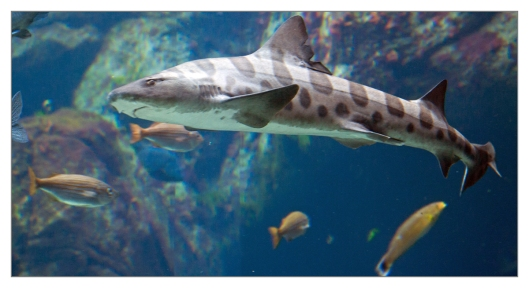 Leopard shark June 25th 2013. Image © Joe Geronimo.
