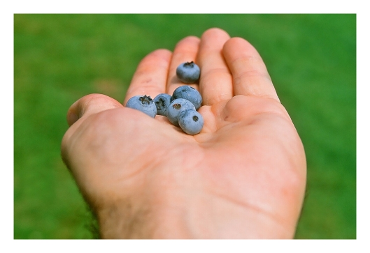 Blueberry picking at Apple Hill Farms. Canon EOS 1N, Agfa CT 100 Slide Film. Image © Joe Geronmo