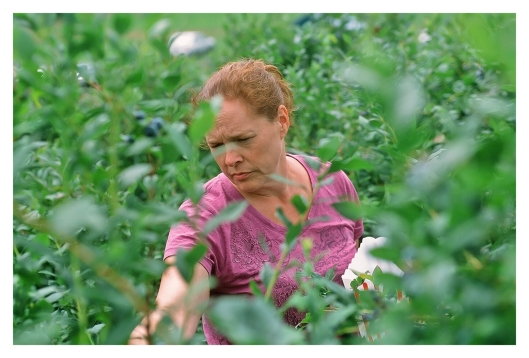 Julie doing her part in harvesting 17.5 Pounds of blueberries. Canon EOS 1N, Agfa CT 100 Slide Film. Image © Joe Geronimo