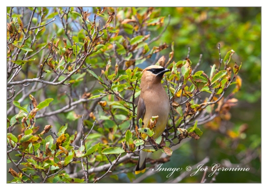 Cedar Waxwing on Long Pond.