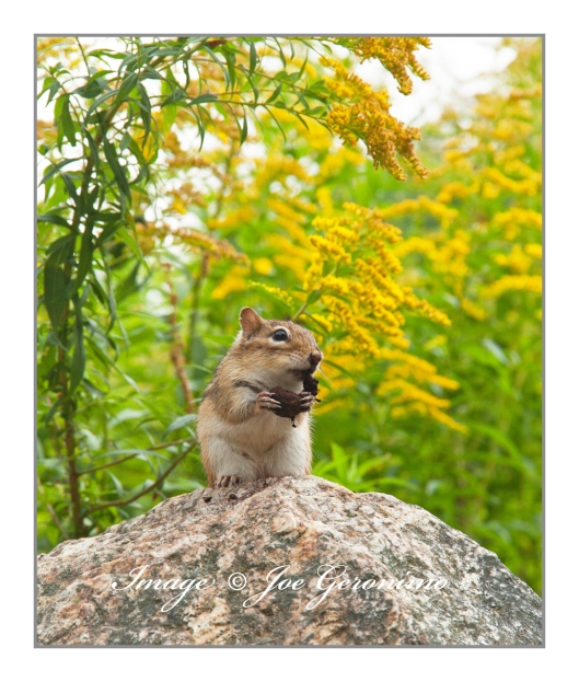 Chipmunk at the Squam Lakes Natural Science Center.