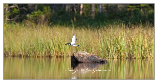 Belted Kingfisher on Long Pond.