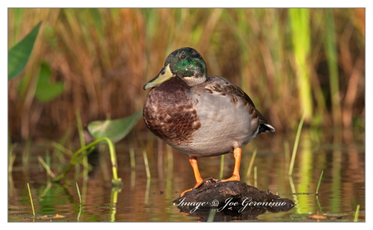 Mallard on French Pond this evening.