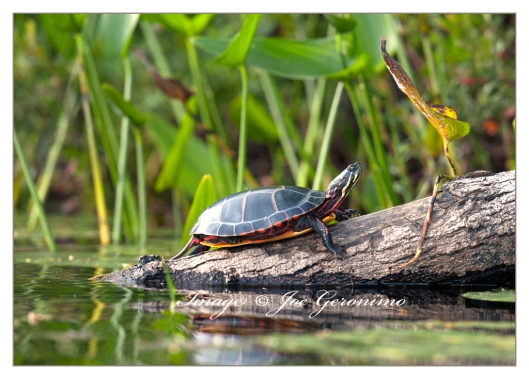 Painted turtle on French Pond this evening.