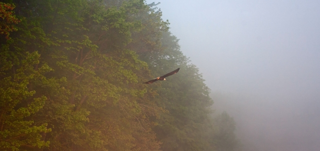 Mr. Bald Eagle taunting me. Long Pond, Smithville Flats, NY. Image © Joe Geronimo