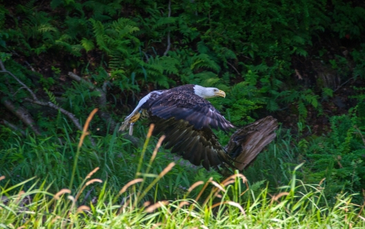Bald Eagle along the Delaware River July 19th 2015. Image © Joe Geronimo