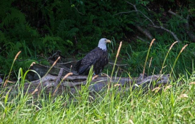 Bald Eagle along the Delaware River July 19th 2015. Image © Joe Geronimo