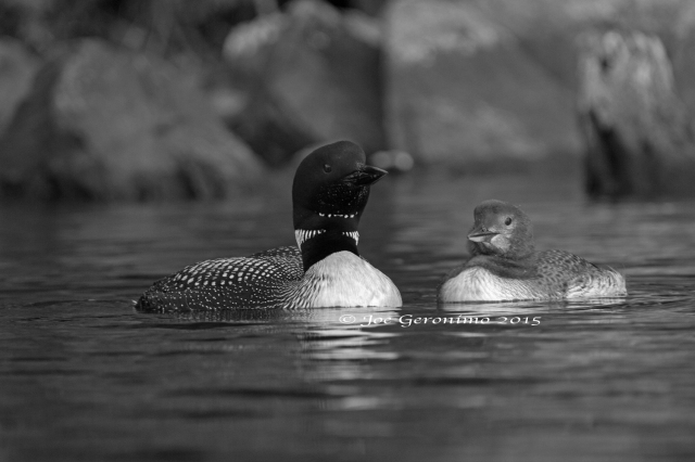 Common Loons on Long Pond Benton, NH. Image © Joe Geronimo
