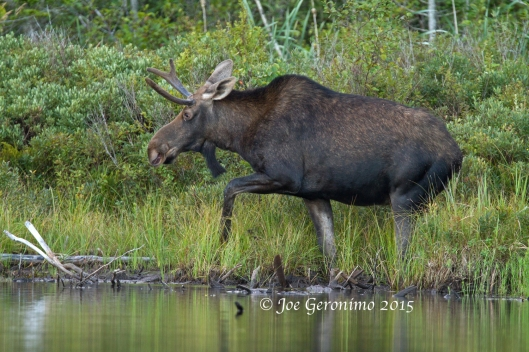 Young bull moose Long Pond Benton, NH August 28th 2015. Image © Joe Geronimo