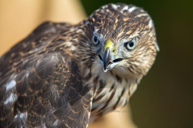 "Female Cooper's Hawk ""Dead Creek Wildlife Management Area"" Addison, VT October 3rd 2015. © Joe Geronimo"