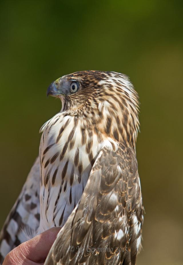 """Female Cooper's Hawk who had just recently eaten a bird. Notice her """"Crop"""" is bulging just below her head. """"Dead Creek Wildlife Management Area"""" Addison, VT October 3rd 2015. © Joe Geronimo"""