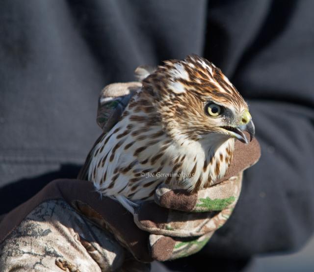 "Male Cooper's Hawk ""Dead Creek Wildlife Management Area"" Addison, VT October 3rd 2015. © Joe Geronimo"