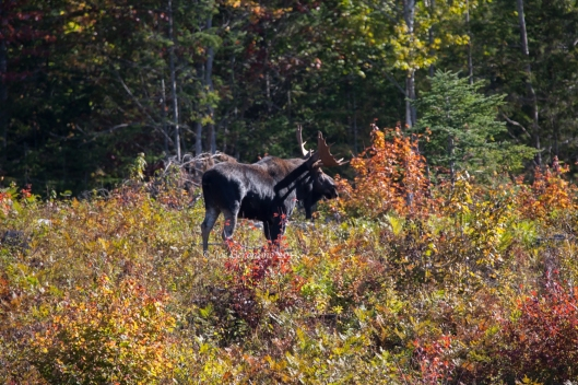 Bull moose near Magalloway, Maine September 28th 2015. © Joe Geronimo