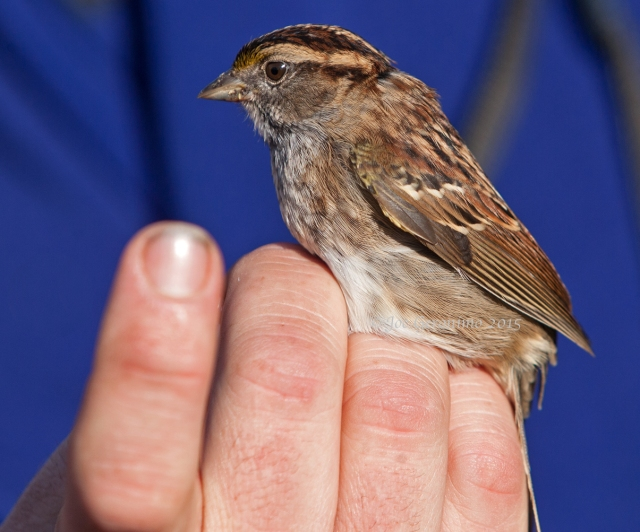 "White Throated Sparrow ""Dead Creek Wildlife Management Area"" Addison, VT October 3rd 2015. © Joe Geronimo"