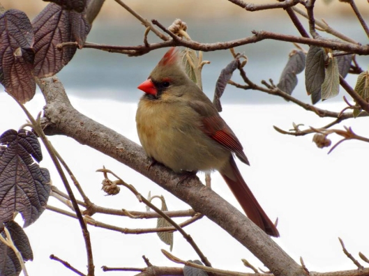 Female Cardinal by Stacie York.
