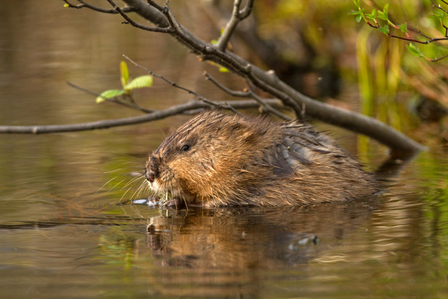 Beaver having some dinner on Long Pond. Image © Joe Geronimo.