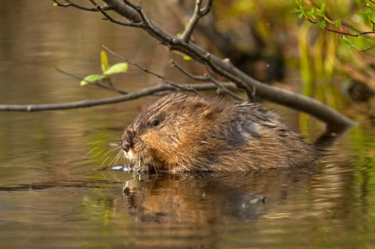 Beaver having some dinner on Long Pond. Image © Joe Geronimo.