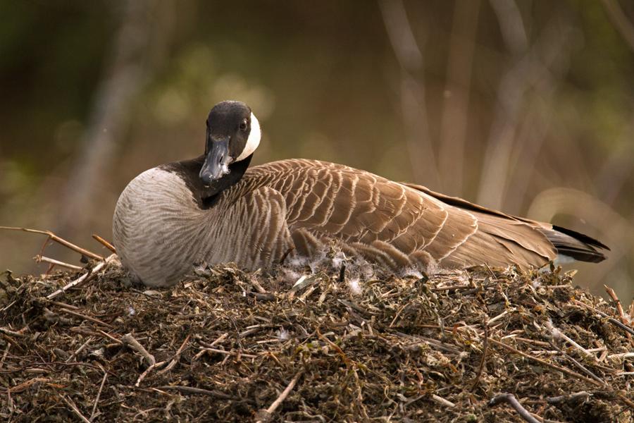 Female Canadian goose with her chicks. Image © Joe Geronimo.
