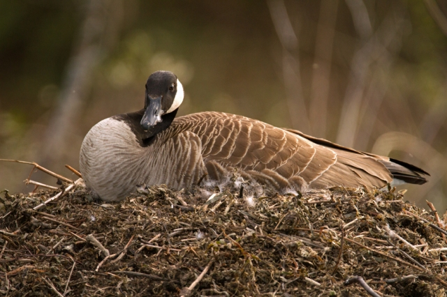Female Canadian goose with her chicks. Image © Joe Geronimo.